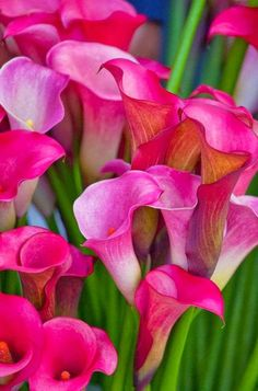 Calla lily is a graceful, sensual, exotic, trumpet-shaped bloom. Did you know calla lilies are poisonous to your cat or dog?