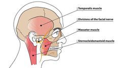 Trigger Point Therapy - Temporomandibular Joint Disorders (TMD or/ TMJ – Niel Asher Education Tmj Massage, Massage Therapy, Trigger Point Therapy, Trigger Points, Disorders, Muscles, Recovery, Fitness, Bones