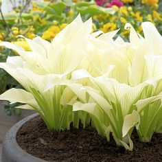 Hosta Plants, Shade Plants, Garden Plants, Perennial Plant, White Feather Hosta, White Feathers, Container Plants, Container Gardening, Zen Gardens