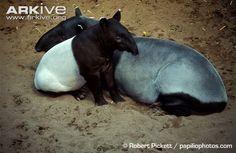 Female Asian tapir with juvenile