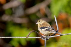 A Photo in the life of: I may have called thisAmerican Goldfinch a Yellow...