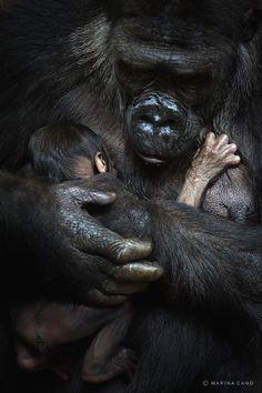 Gorilas, Parque de la naturaleza de #Cabarceno #Cantabria #Spain