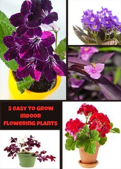 Read directions about 5 cheery, easy-to-grow indoor flowering plants.