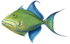 Love Queen Triggerfish