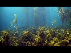 I guess I did not know that Kelp Forests are endangered. This is a compilation of footage taken in Jan. 2012 and Jan. 2013 of giant kelp forests off of south-eastern Tasmania. Forest locations were...