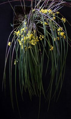 Octomeria juncifolia - 2011 - 5 by Luiz Filipe Varella, via Flickr