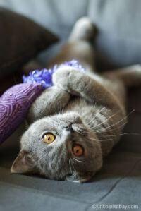 Charakter Der Britisch Kurzhaar Katze Kurzhaar Katzen