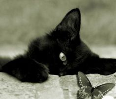 Butterfly being watched by a cute black kitten