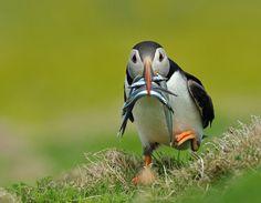 """Puffin with Catch""  *Skomer Island, Wales*  |Photographer ~Dean Mason~|"