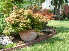 japanese maples in pots :)