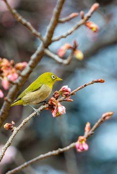 Japanese white-eye ~ beak full of pollen by shinichiro*@Osaka, via Flickr