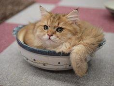 鍋猫のパフォーマンス(青梅・VIPなネコカフェ)の画像 | マロンの物語 feat.猫カフェ Cats