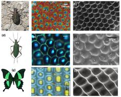Color online) Structural Color Mixing in Nature [87, 90, 91]. Photographs, optical microscopy and SEM images of tiger beetles C. oregona ((a), (b), (c)), long-jointed beetles C. obscuripennis ((d), (e), (f)), and swallowtail butterflies P. palinurus ((g), (h), (i)), respectively.   via Bio-Inspired Photonic Structures: Prototypes, Fabrications and Devices --- By Feng Liu, Biqin Dong and Xiaohan Liu