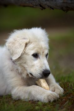 Maremma sheepdog puppy with his bone. my bone by rikhard.kuutti on Flickr.