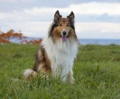 Best Dogs for Kids - 16 dog breeds to check out Child Friendly Dogs, Friendly Dog Breeds, Herding Dogs, Purebred Dogs, Rough Collie, Collie Dog, Best Dog Breeds, Large Dog Breeds, Best Dogs For Kids