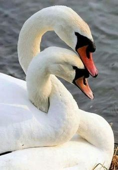 Spring Lovers - Swans mate for life. Gorgeous beautiful swan photo of birds. Pretty Birds, Love Birds, Beautiful Birds, Animals Beautiful, Beautiful Swan, Beautiful Sunset, Beautiful Life, Simply Beautiful, Beautiful Things