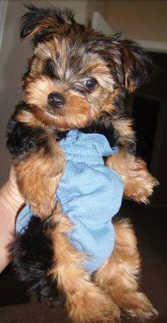 Scrat ~ Yorkie pup