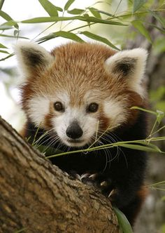 Just like giant pandas, these pandas primarily eat bamboo and live in temperate forests in China, as well as Myanmar and other south Asian countries.
