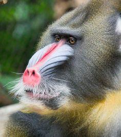 Mandrill (Pittsburgh Zoo): 2012