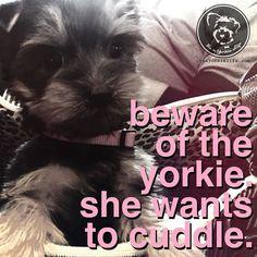 Yorkies are dangerous. Very dangerous.
