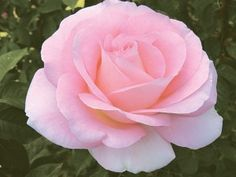 'Falling In Love'  Hybrid Tea with rose/fruity fragrance.