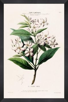 jasmine - high resolution image from old book. Science Illustration, Botanical Illustration, Botanical Science, Flower Clipart, Free Download, Vintage Pictures, Botany, Beautiful Images, Jasmine