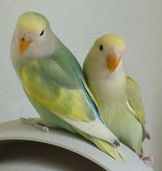 Peachfaced lovebirds come in a variety of colors. Below are some photos. They are all Agapornis roseicollis. Remember, color mutations occur within the same Love Birds Pet, Small Birds, Colorful Birds, Pretty Birds, Beautiful Birds, African Lovebirds, Budgies, Parrots, Pets For Sale