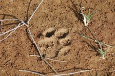 Simon found a Leopard track on his walk at Sosian, Laikipia, Kenya.