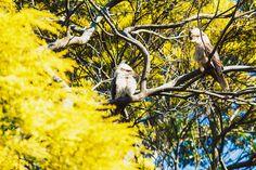 Kookaburra Bald Eagle, Sydney, Wildlife, Australia, Bird, Photography, Painting, Animals, Image