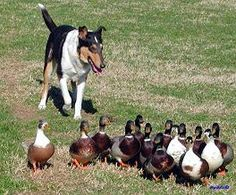 Smooth Collie -- herding ducks!  I wonder if Duncan would like to do this :-)