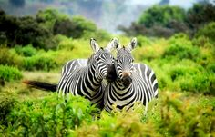 Animal Photography - Zebra in the Bushes - Framed poster Poster Photo, Kenya Africa, Photo D Art, Jungle Safari, Game Reserve, African Safari, Travel Pictures, Animal Photography, Mammals