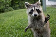This friendly little raccoon makes us smile!