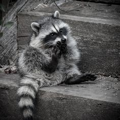 awwhaha, raccoons are nasty, but they're so cute!