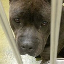 911 URGENT - Big Boy is worried..no one seems to be coming for him. He has very little activity on his thread. Please network this big hunk of love! BIG BOY - ID#A433457 (Moreno Valley, CA) Male pitbull about 3 yrs.  https://www.facebook.com/photo.php?fbid=299444916876968&set=a.135994216555373.29267.135559229932205&type=1&theater