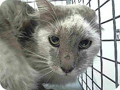 Pet Adoption has dogs, puppies, cats, and kittens for adoption. Adopt a pet Downey California, Kittens, Cats, Pet Adoption, Meet, Puppies, Bird, Animals, Cute Kittens