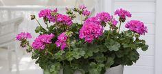 Disse 7 plantene tåler fint å stå i skyggen | Stelletips fra Mester Grønn Garden, Plants, Terrace, Garten, Flora, Plant, Lawn And Garden, Outdoor, Tuin