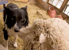 Home - Sweet Pea & Friends Sheep Dogs, Lambs, Animals Beautiful, Sweet Home, Friends, Cutest Animals, Amigos, Cattle Dogs, House Beautiful
