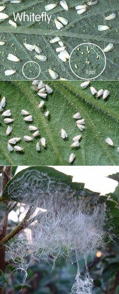 Alternative Gardning: How to Get Rid of Whiteflies