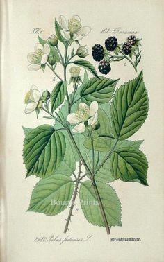 Fruit Art  Blackberries