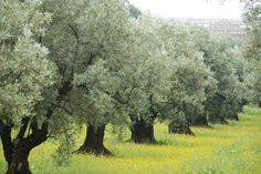 olive grove in Calabria- acres of the olive trees silvery gray leaves- what a site