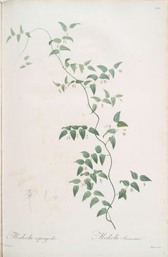 :: Medeola asparagines, Pierre Joseph Redouté, 1816 ::