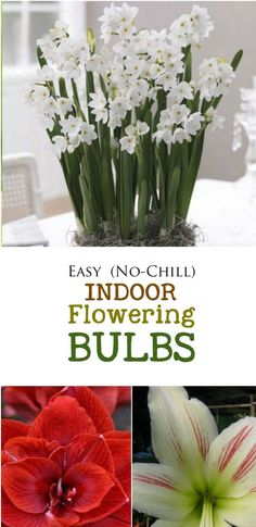 As the weather cools, it's time to order bulbs for forcing into flower indoors. These two types are super easy to grow because they do not require any pre-chilling. You simply plant them in pots according to the instructions and count down the weeks until the beautiful blossom unfold. Nothing looks lovelier on a holiday table and they also make wonderful hostess gifts. Give it a try!