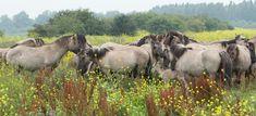 KOnick Horses in summertime at Oostvaardersplassen by Ilse Cardoen