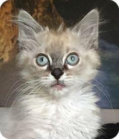 Princess is an adoptable Turkish Angora/Ragdoll/Ragmuffin