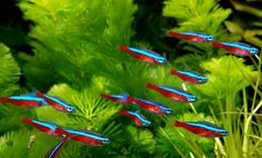 Everything you need to know about the tetra fish.