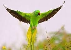 Awesome Examples of Bird Photography - Rose Ringed Parakeet by nissim Parrot Flying, Parrot Bird, Flying Birds, Parrot Pet, Most Beautiful Birds, Pretty Birds, Beautiful Pictures, Exotic Birds, Colorful Birds