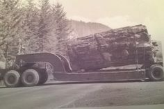 A low boy log being loaded at the 12 mile camp on the Toutle River. Late 70 ' s Forest Pictures, Old Pictures, Giant Sequoia Trees, Big Tractors, Logging Equipment, Big Tree, The Old Days, Picture On Wood, Wooden Boats