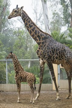 """The San Diego Zoo's newest and smallest giraffe is growing up—and he's growing up fast! Obi, a 2-month-old giraffe, delighted animal care staff when he was born to mother, Nicky; and father, Silver; right in front of excited Zoo visitors. What made Obi's birth even more interesting was that he stood at only 5 feet, 3 inches tall and weighed only 117 pounds. In a world where most giraffes are born well over 6 feet tall, Obi was decidedly """"pocket-sized,"""" and he entered the record books as the…"""