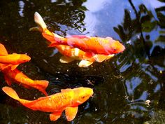 Best images about Koi Fish on Pinterest  Japanese koi, Fish 1440×900 Koi Wallpaper (38 Wallpapers) | Adorable Wallpapers
