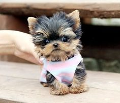 WELL TRAINED TEACUP YORKIE PUPPIES